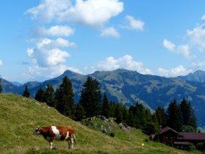 Foto: Hahnenkammwiese mit einer Kuh