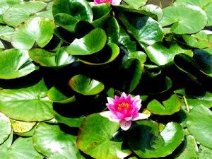 Foto Seerose Pink Fabrari