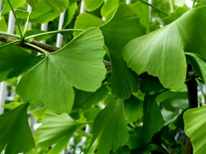 grüne Gingkoblätter