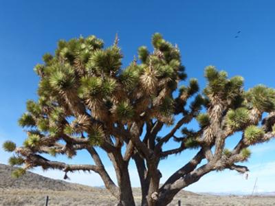 Bild eines Joshua Trees in Nevada, Foto von fabrari