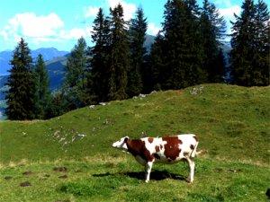 Foto Kuh auf Hahnenkammwiese, Kitzbühel, fabrari
