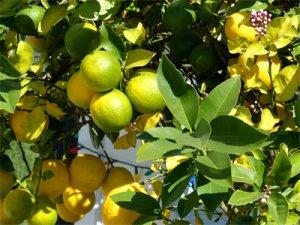 Foto Zitronenbaum mit grünen und gelben Zitronen