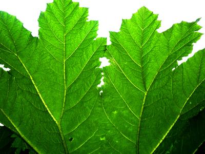 Foto: grünes Mammutblatt, fabrari