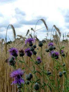 Getreidefeld ©fabrari