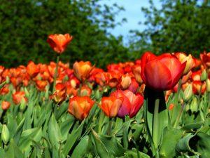 Tulpenwiese im Prater, Wien