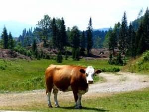 Kuh in der Nähe des Weissensees