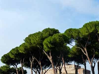 Pinienbäume in der Nähe der Engelsburg, Rom