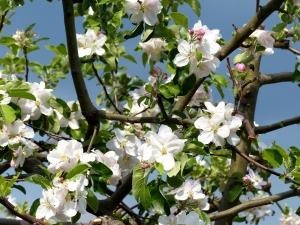 Marillenbaum in der Wachau