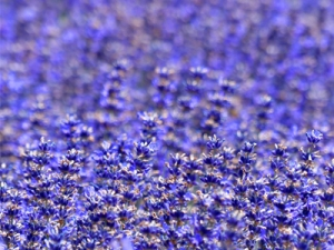 Bild von einem Lavendelfeld