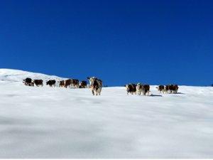 Motiv Kühe im Schnee